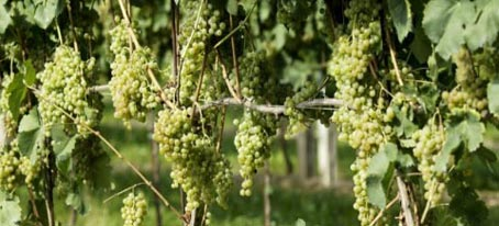 soave white wine