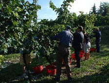 wine harvest in valpolicella
